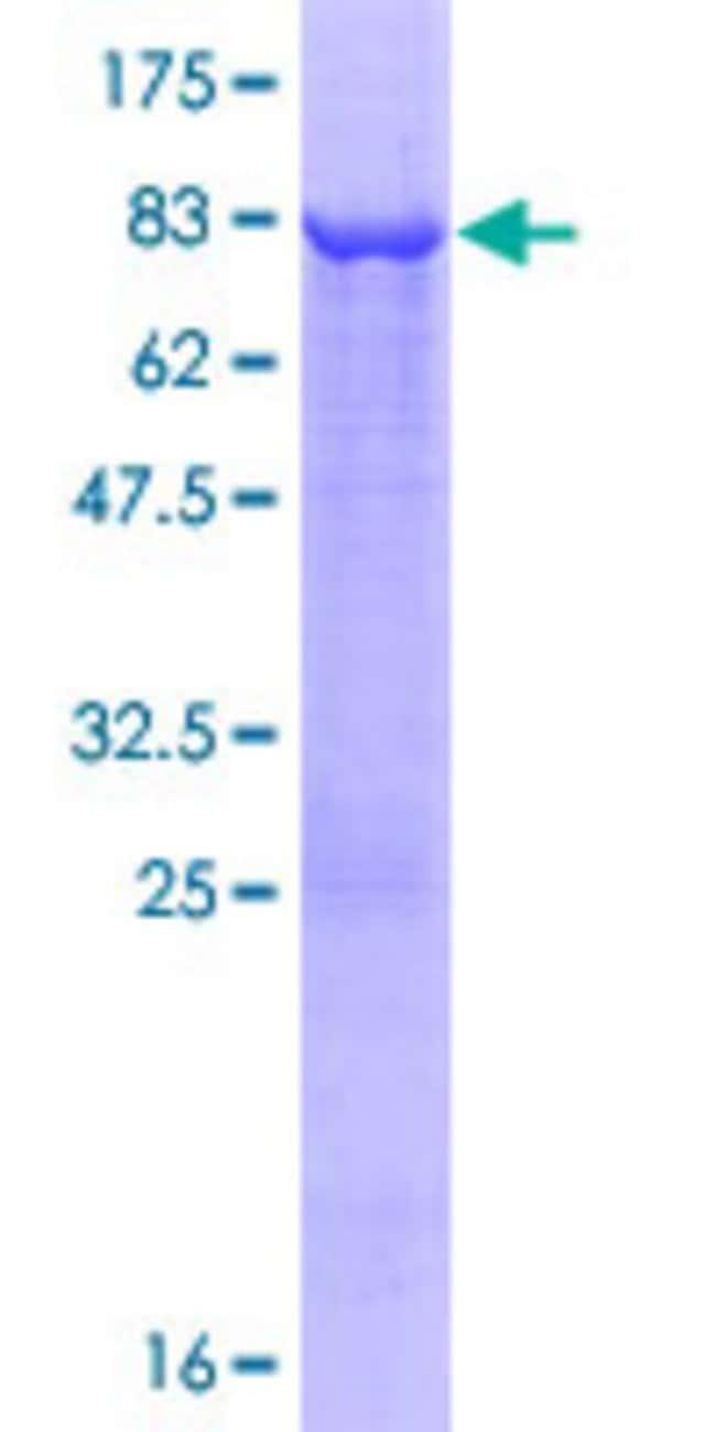 AbnovaHuman ARHGAP25 Full-length ORF (AAH39591.1, 1 a.a. - 458 a.a.) Recombinant