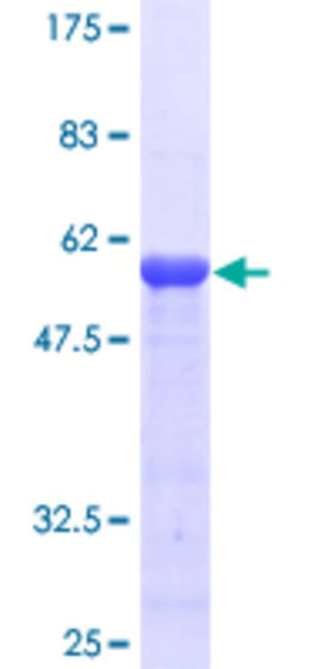 AbnovaHuman RBM8A Full-length ORF (AAH17088, 1 a.a. - 174 a.a.) Recombinant