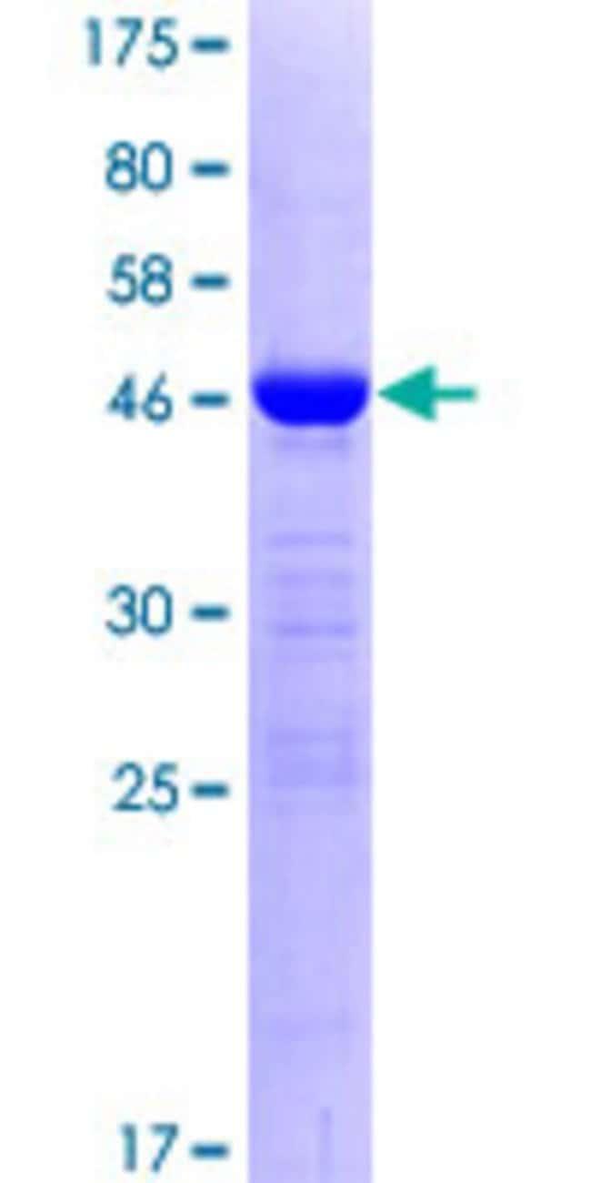 AbnovaHuman RBM8A Full-length ORF (NP_005096.1, 1 a.a. - 174 a.a.) Recombinant