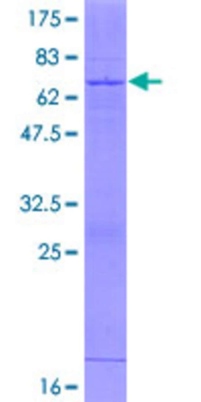 AbnovaHuman HS3ST1 Full-length ORF (NP_005105.1, 1 a.a. - 307 a.a.) Recombinant