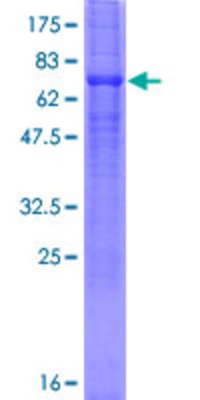 AbnovaHuman SLC23A2 Full-length ORF (AAH13112.1, 1 a.a. - 425 a.a.) Recombinant