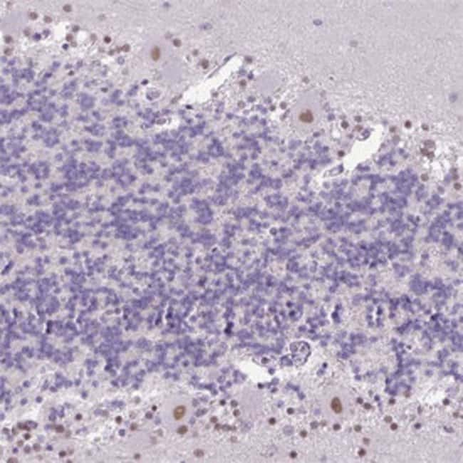 KPNA1 Rabbit anti-Human, Polyclonal , Abnova 100μL; Unlabeled:Antibodies