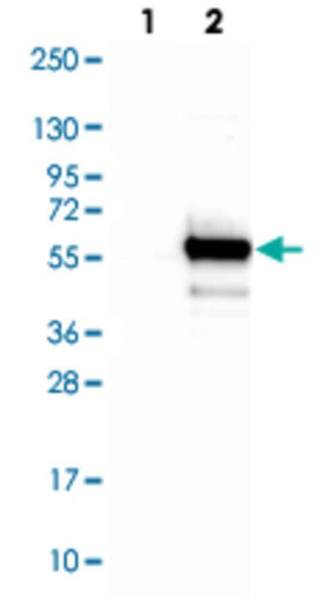TIPIN Rabbit anti-Human, Polyclonal , Abnova 100μL; Unlabeled:Antibodies