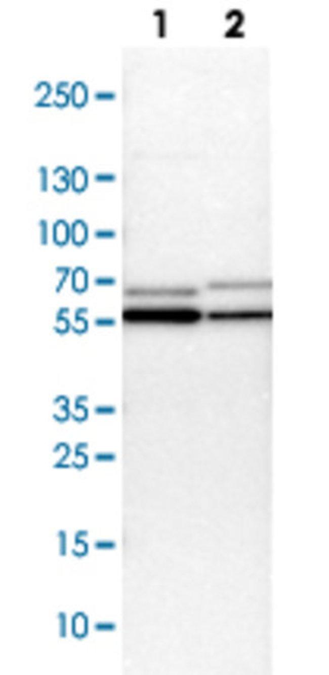 CCT2 Rabbit anti-Human, Mouse, Rat, Polyclonal Antibody, Abnova 100μL;