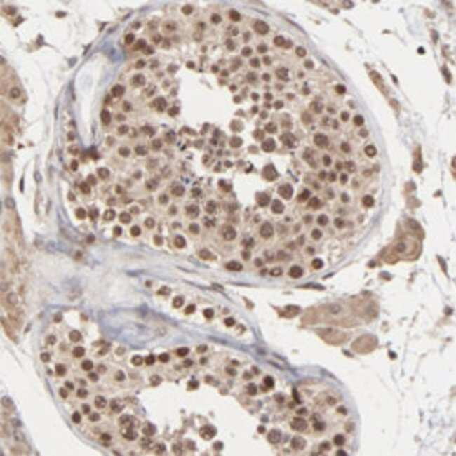 BRPF1 Rabbit anti-Human, Polyclonal , Abnova 100μL; Unlabeled:Antibodies