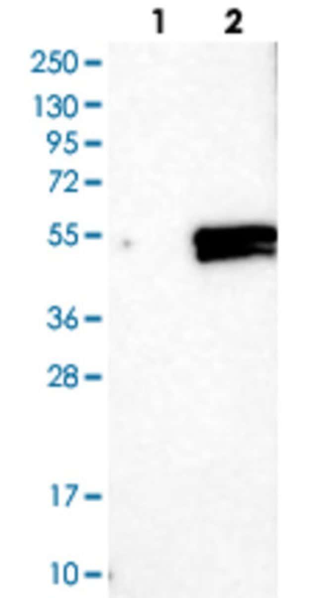 ELF3 Rabbit anti-Human, Polyclonal Antibody, Abnova 100μL; Unlabeled:Antibodies