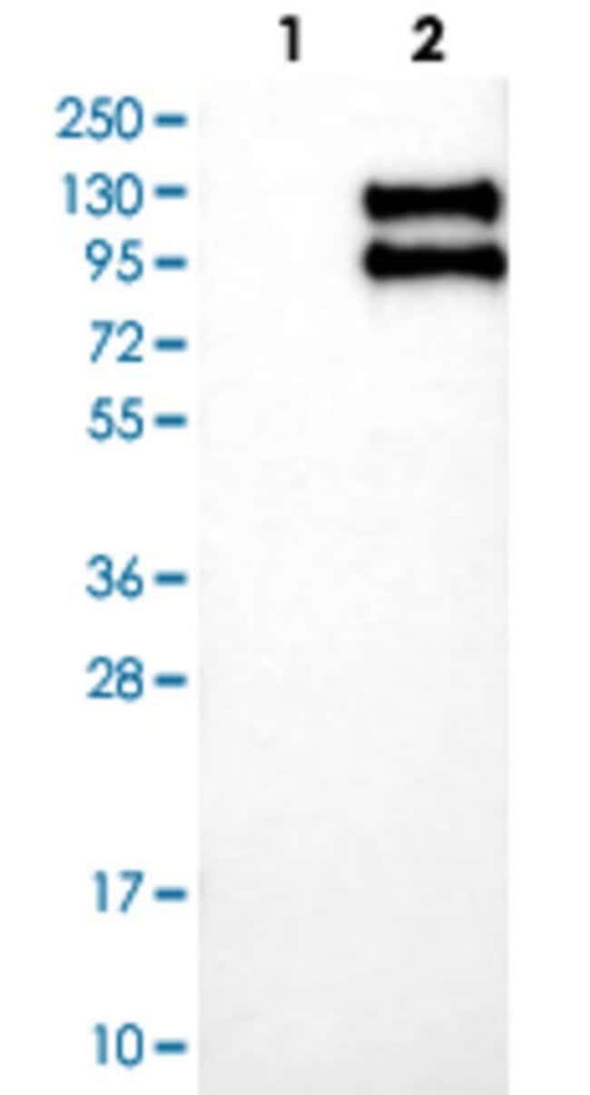TNFRSF21 Rabbit anti-Human, Polyclonal , Abnova 100μL; Unlabeled:Antibodies
