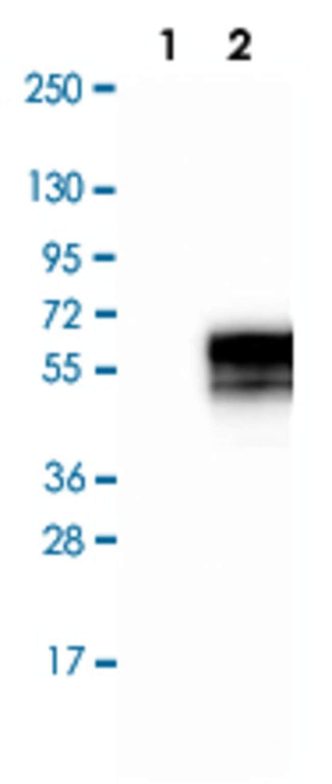 PDCD1 Rabbit anti-Human, Polyclonal , Abnova 100μL; Unlabeled:Antibodies