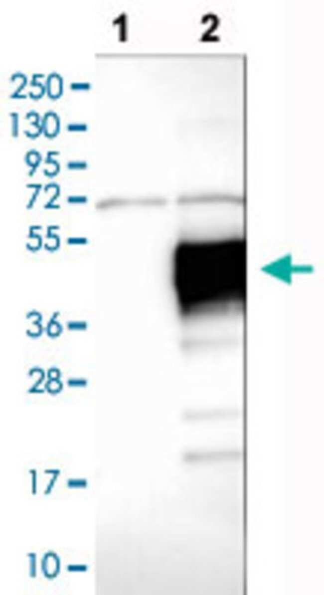 LAIR1 Rabbit anti-Human, Polyclonal , Abnova 100μL; Unlabeled:Antibodies