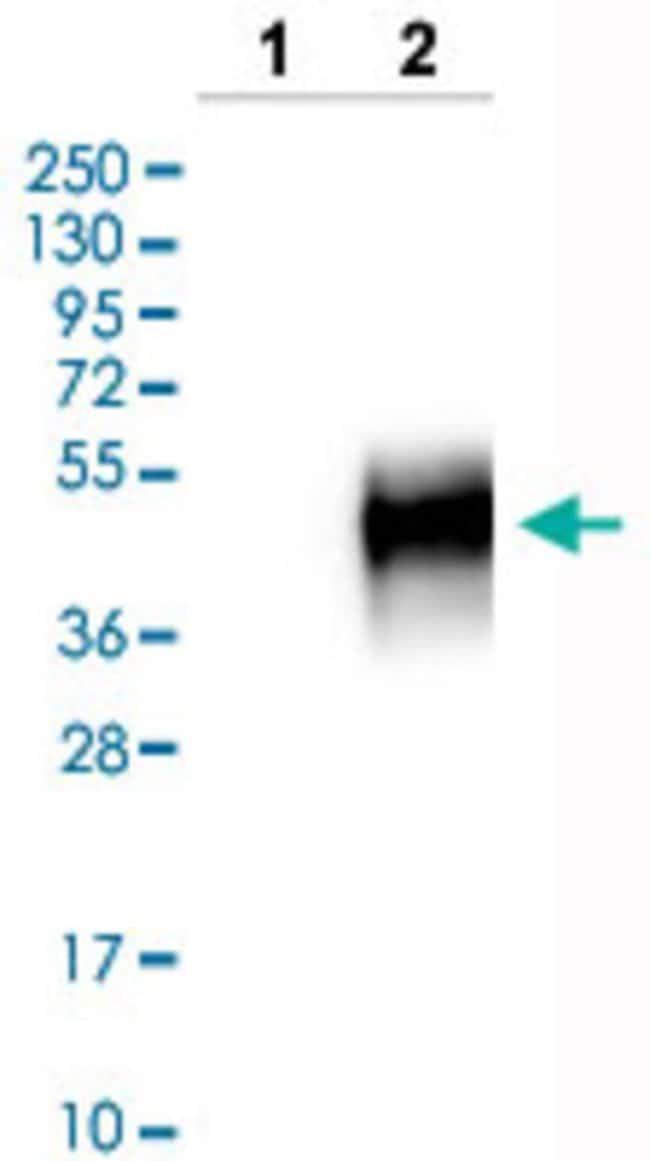 CD300C Rabbit anti-Human, Polyclonal , Abnova 100μL; Unlabeled:Antibodies