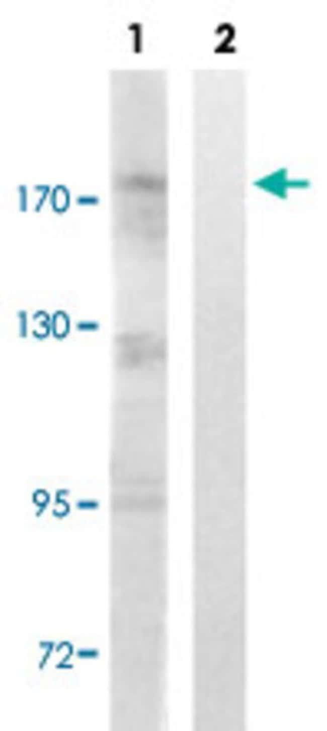 TOP2A (phospho S1106) Rabbit anti-Human, Mouse, Polyclonal , Abnova 100µL;