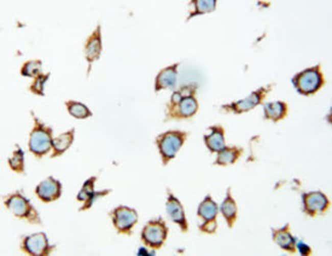 HSPD1 Rabbit anti-Human, Mouse, Rat, Polyclonal Antibody, Abnova 100μg;