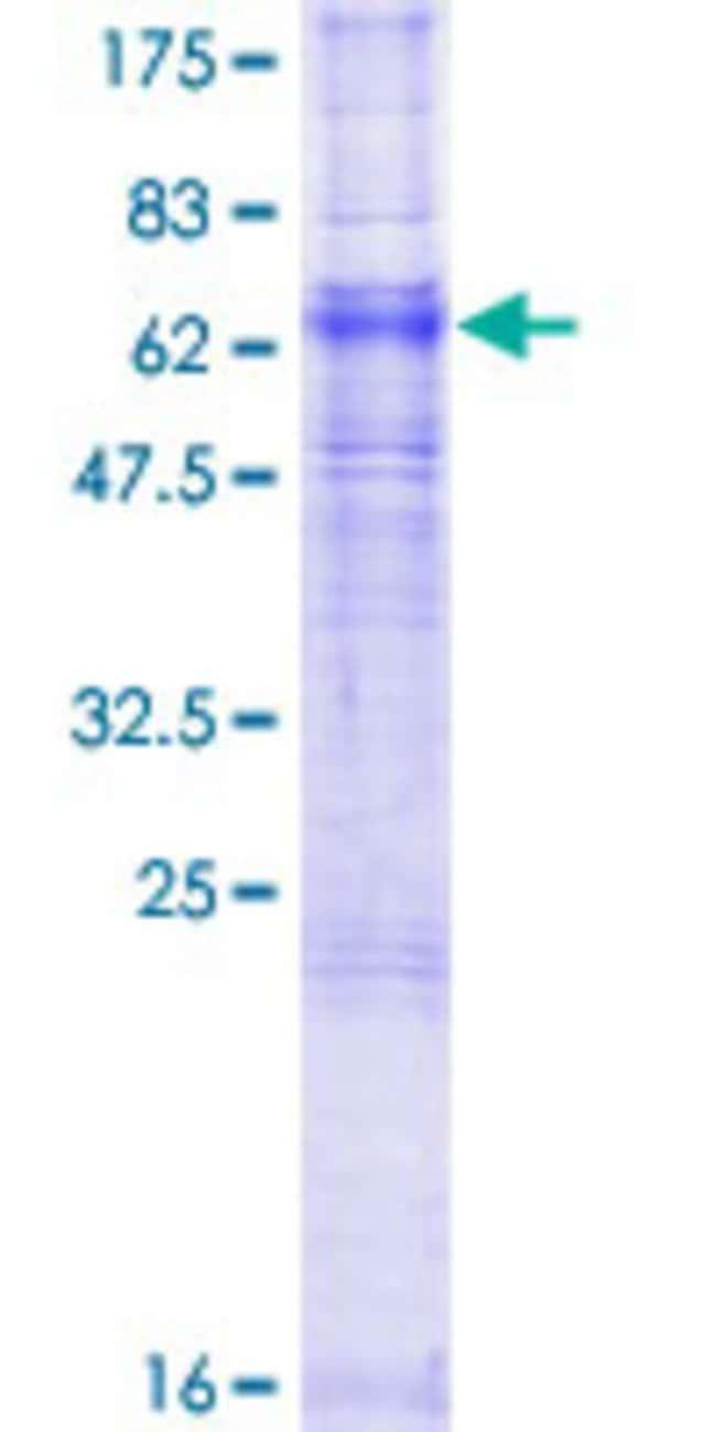 AbnovaHuman ADORA2A Full-length ORF (NP_000666.2, 1 a.a. - 412 a.a.) Recombinant