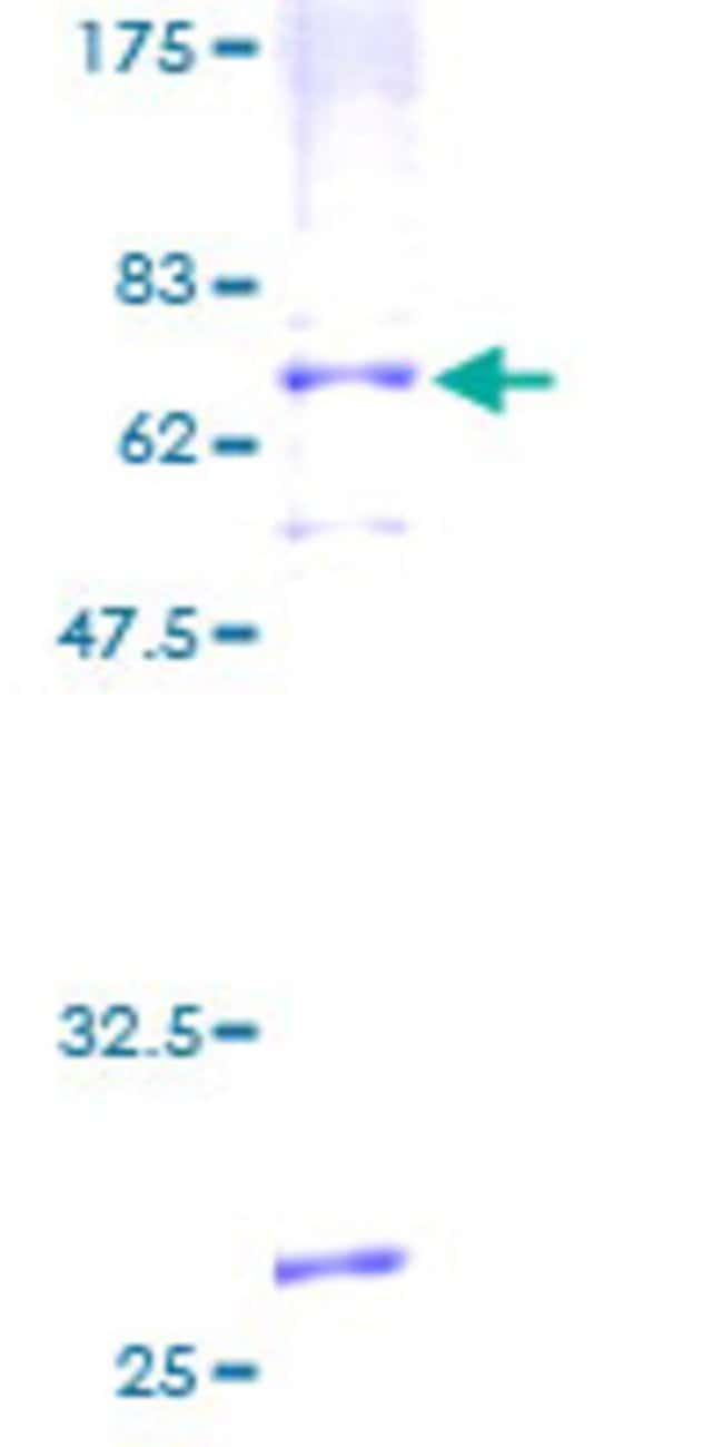 Abnova™Human AGTRL1 Full-length ORF (AAH32688, 1 a.a. - 380 a.a.) Recombinant Protein with GST-tag at N-terminal 10μg Abnova™Human AGTRL1 Full-length ORF (AAH32688, 1 a.a. - 380 a.a.) Recombinant Protein with GST-tag at N-terminal
