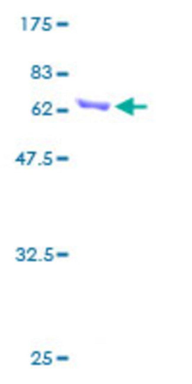AbnovaHuman ANXA4 Full-length ORF (AAH00182, 1 a.a. - 321 a.a.) Recombinant