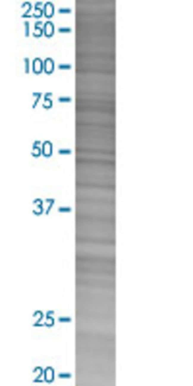 AbnovaAPOF 293T Cell Transient Overexpression Lysate (Denatured) (T02)