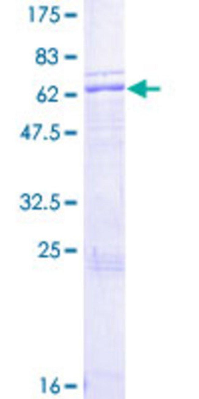 AbnovaHuman APOH Full-length ORF (AAH26283.1, 1 a.a. - 345 a.a.) Recombinant
