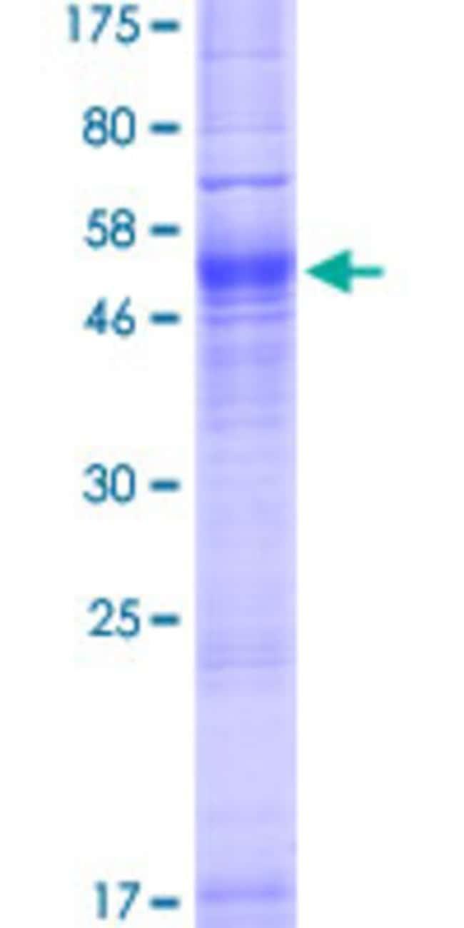 AbnovaHuman AQP7 Full-length ORF (NP_001161.1, 1 a.a. - 342 a.a.) Recombinant