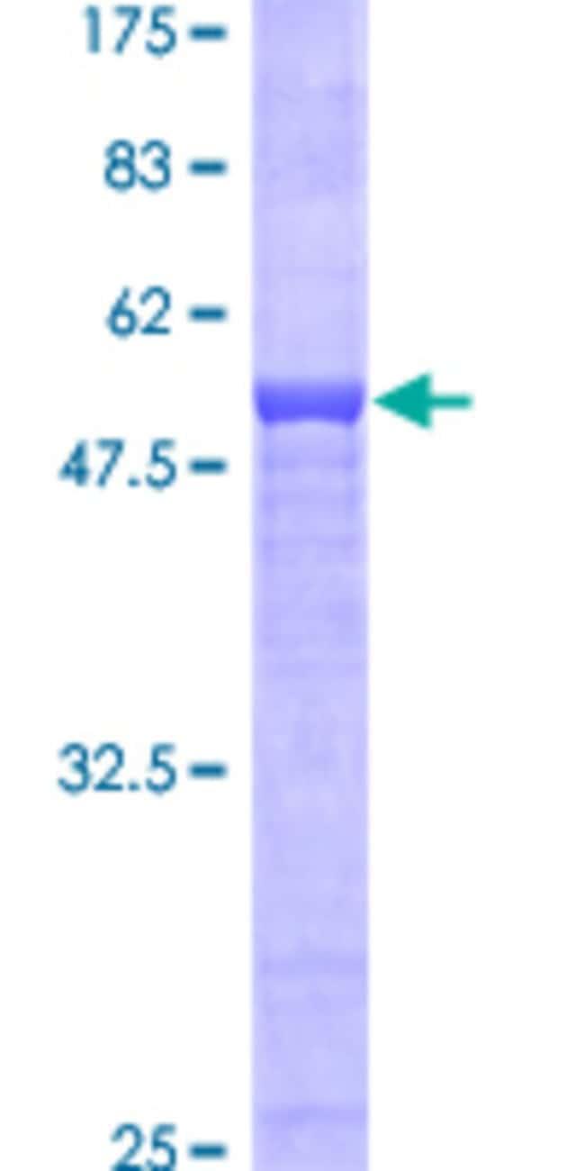 AbnovaHuman AZGP1 Full-length ORF (AAH33830, 1 a.a. - 298 a.a.) Recombinant