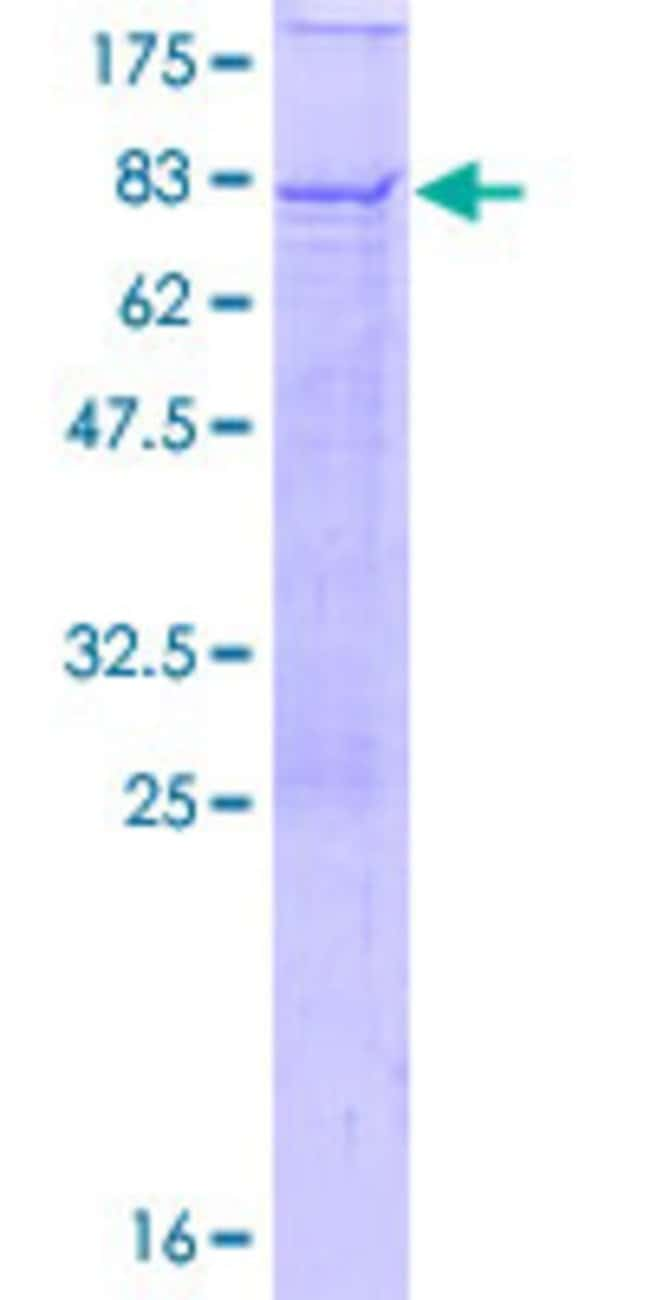 Abnova™Human BTN1A1 Full-length ORF (AAH96312.1, 1 a.a. - 526 a.a.) Recombinant Protein with GST-tag at N-terminal 25μg Abnova™Human BTN1A1 Full-length ORF (AAH96312.1, 1 a.a. - 526 a.a.) Recombinant Protein with GST-tag at N-terminal