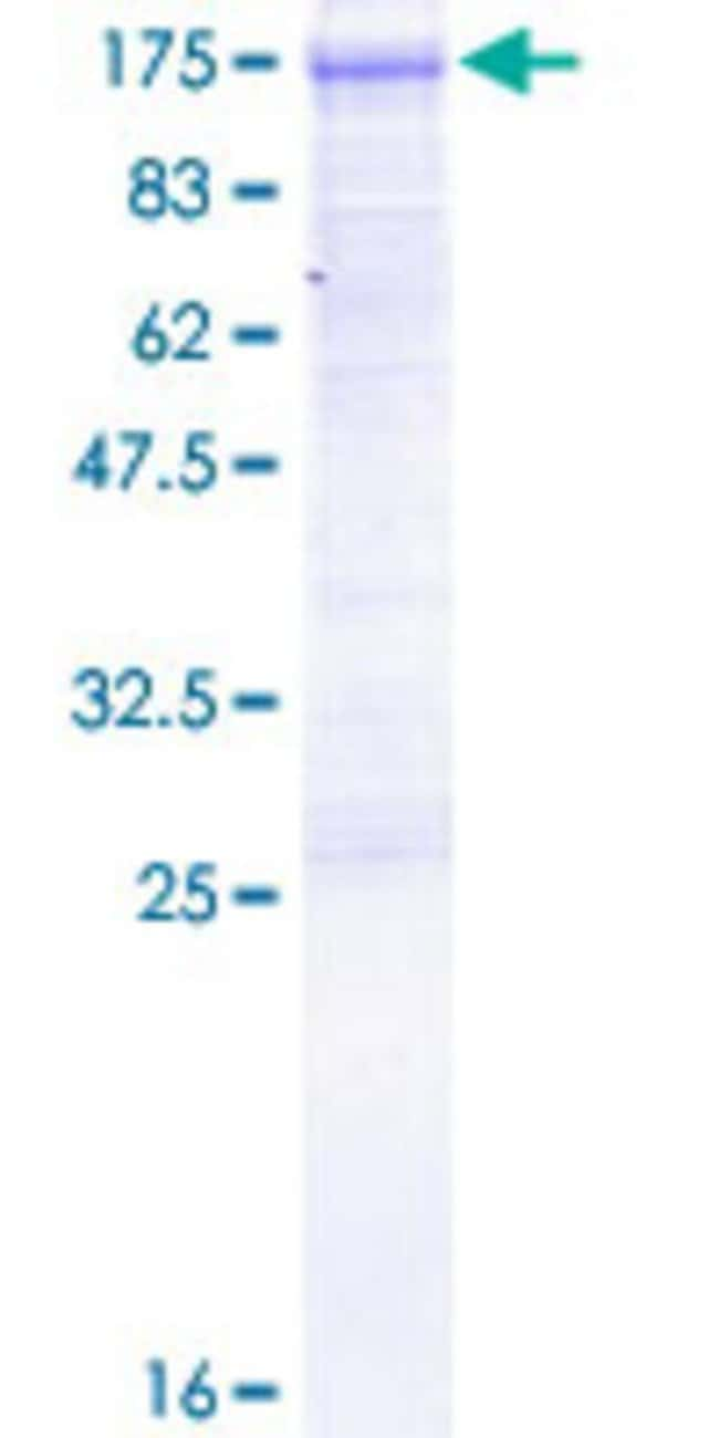 Abnova™Human DVL3 Full-length ORF (AAH32459.1, 1 a.a. - 716 a.a.) Recombinant Protein with GST-tag at N-terminal 10μg Abnova™Human DVL3 Full-length ORF (AAH32459.1, 1 a.a. - 716 a.a.) Recombinant Protein with GST-tag at N-terminal