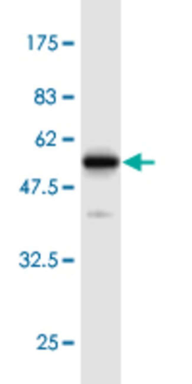 EEF1B2 Mouse anti-Human, Mouse, Clone: 4G8, Abnova 100μg; Unlabeled:Antibodies