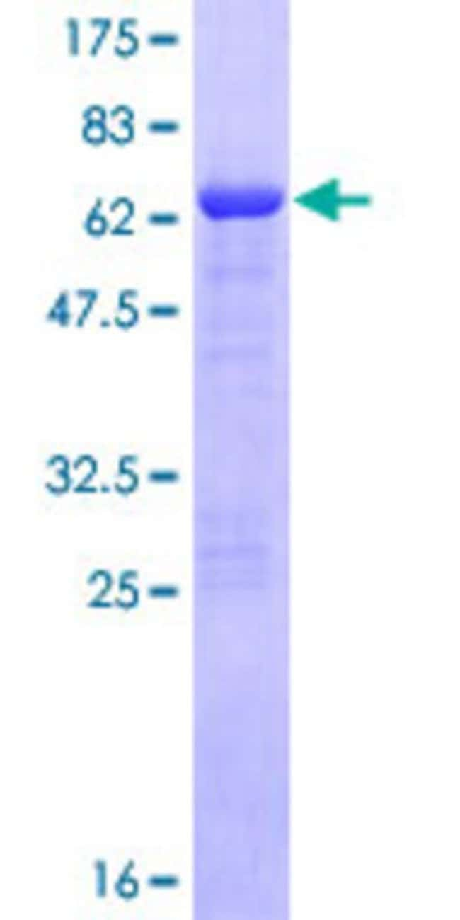 Abnova™Human GAS2 Full-length ORF (NP_005247.1, 1 a.a. - 313 a.a.) Recombinant Protein with GST-tag at N-terminal 10μg Abnova™Human GAS2 Full-length ORF (NP_005247.1, 1 a.a. - 313 a.a.) Recombinant Protein with GST-tag at N-terminal