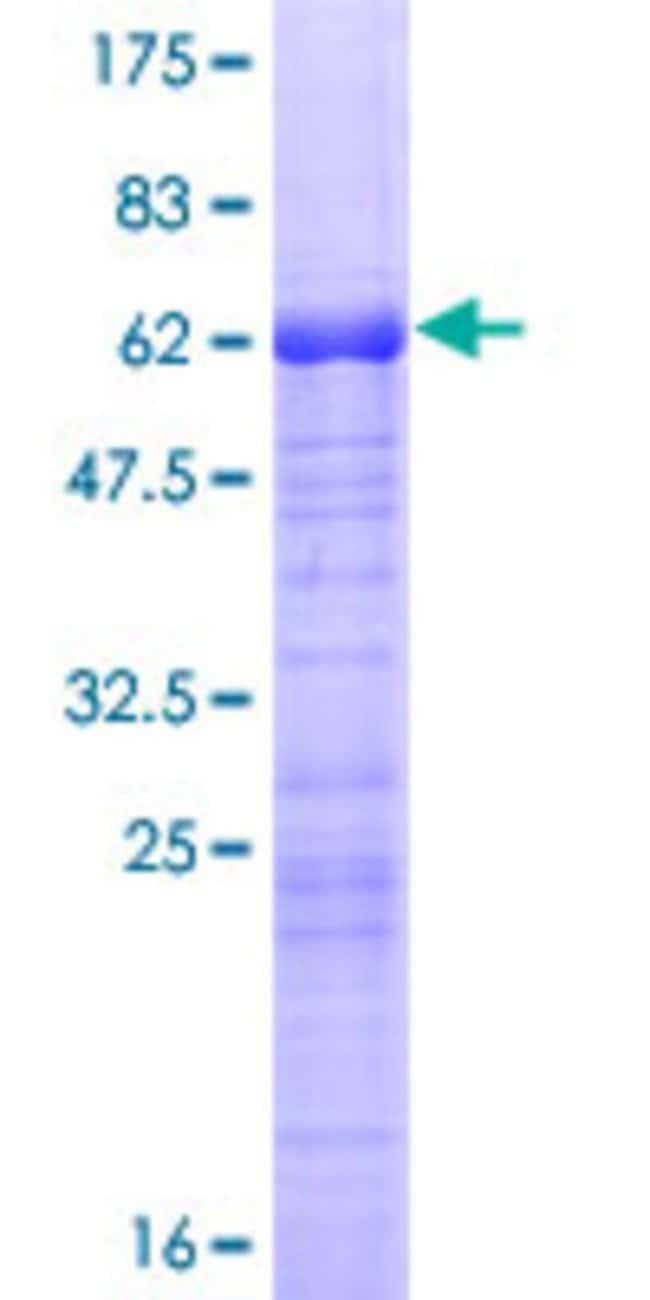 AbnovaHuman ARPC1B Full-length ORF (NP_005711.1, 1 a.a. - 372 a.a.) Recombinant