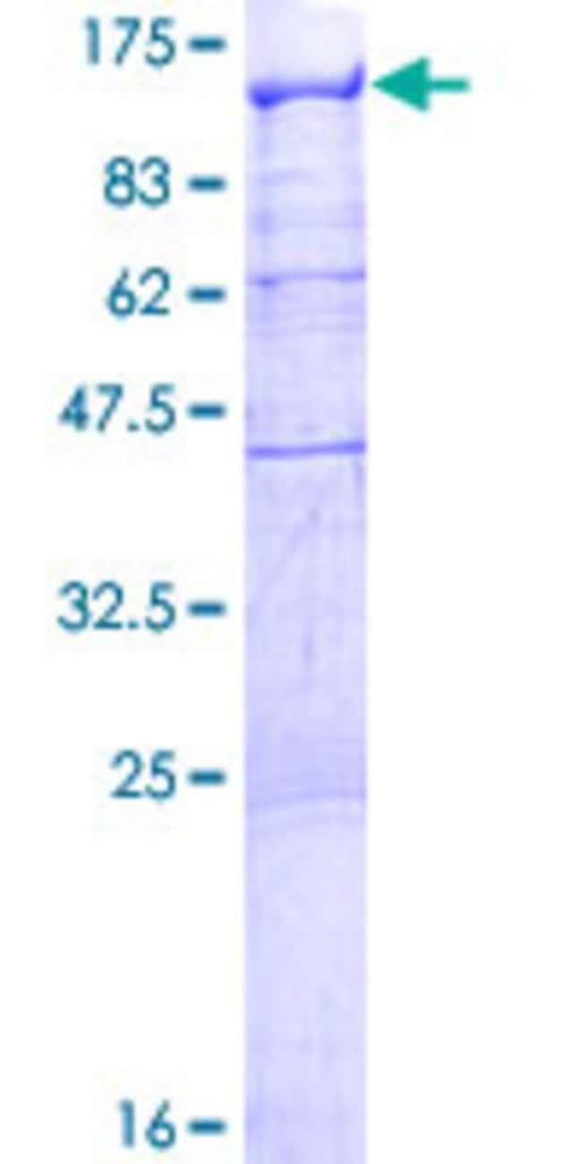AbnovaHuman RBM12 Full-length ORF (NP_006038.2, 1 a.a. - 932 a.a.) Recombinant