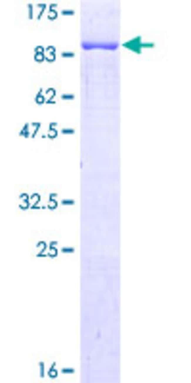 AbnovaHuman G3BP Full-length ORF (NP_005745.1, 1 a.a. - 466 a.a.) Recombinant
