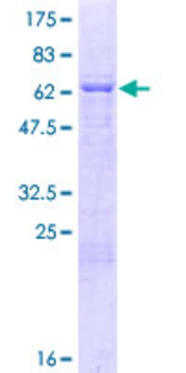 AbnovaHuman MBNL2 Full-length ORF (AAI04040.1, 1 a.a. - 373 a.a.) Recombinant