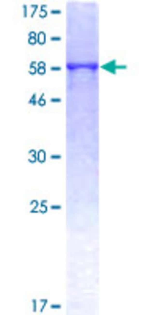 AbnovaHuman ATP6AP2 Full-length ORF (NP_005756.2, 1 a.a. - 350 a.a.) Recombinant