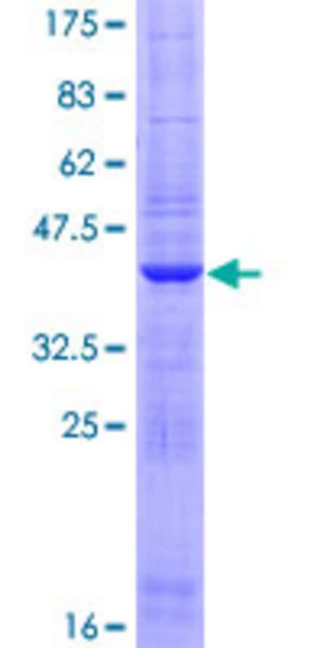 AbnovaHuman FARP1 Full-length ORF (NP_001001715.1, 1 a.a. - 129 a.a.) Recombinant