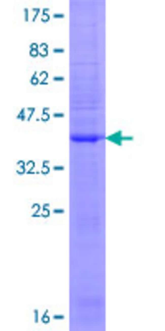 Abnova Human GRIA3 Full-length ORF (NP_871623.1, 1 a.a. - 144 a.a.) Recombinant
