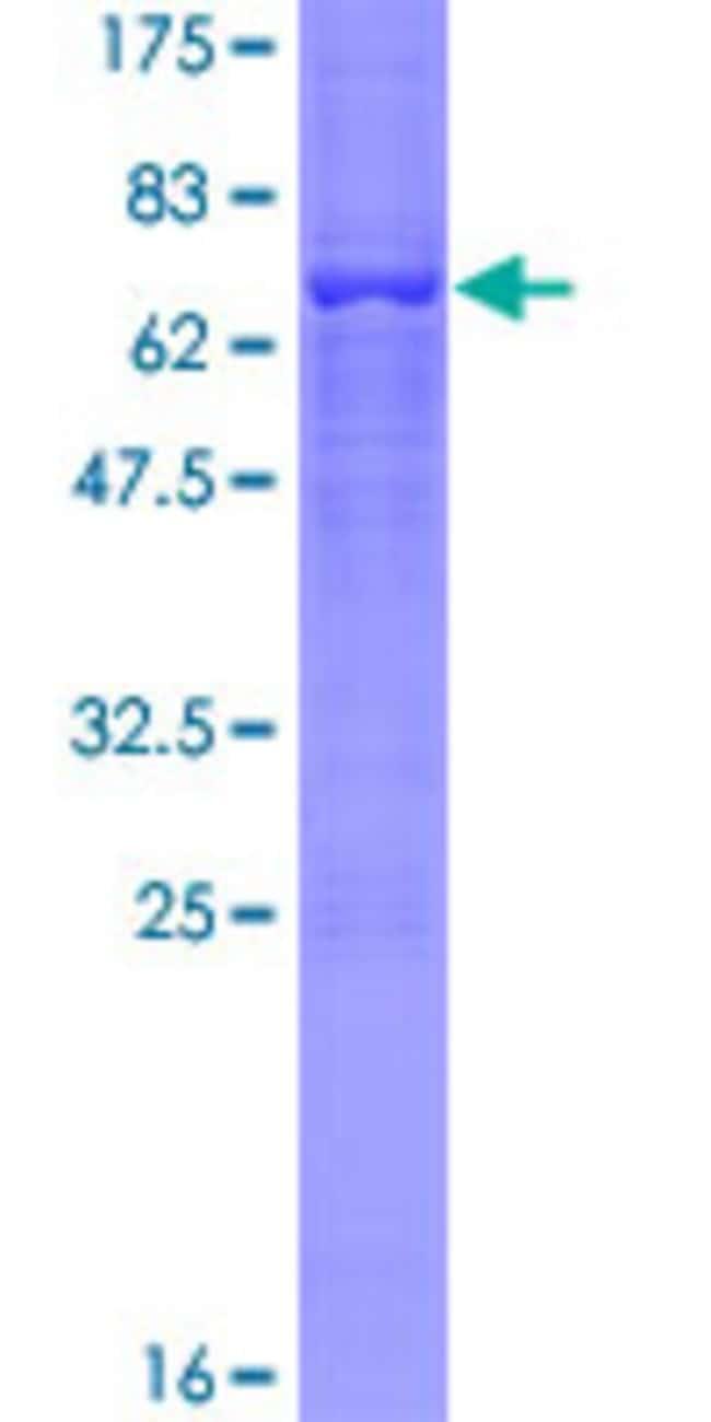 AbnovaHuman RFP2 Full-length ORF (NP_001007279.1, 1 a.a. - 410 a.a.) Recombinant