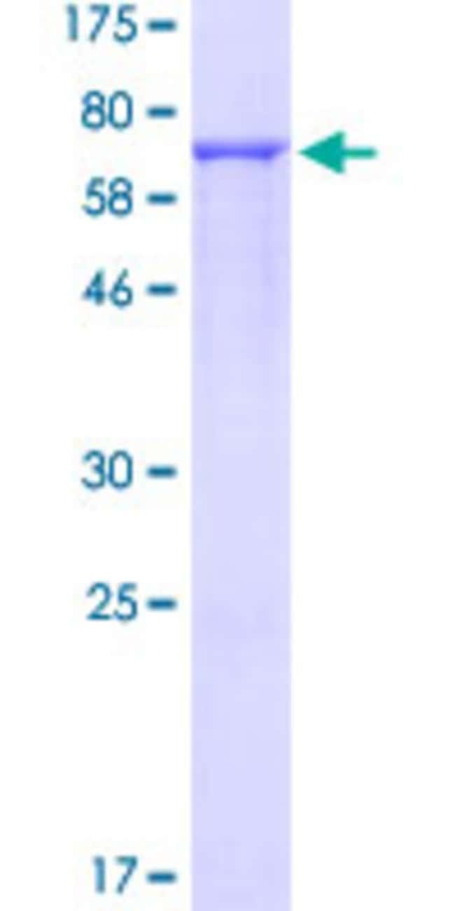 AbnovaHuman DDX39 Full-length ORF (NP_005795.2, 1 a.a. - 427 a.a.) Recombinant