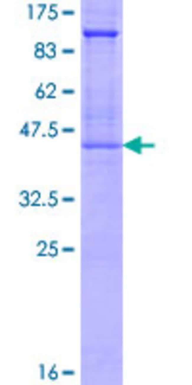 Abnova Human GYPA Full-length ORF (AAH13328.1, 1 a.a. - 150 a.a.) Recombinant