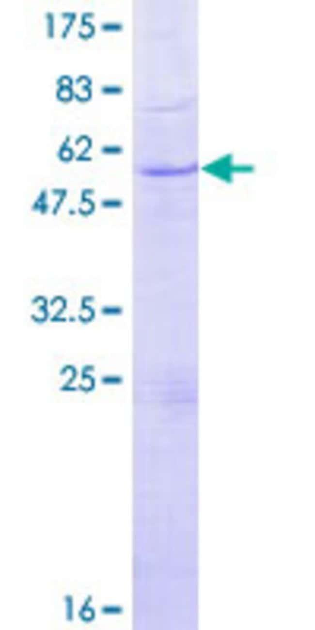 Abnova Human GZMH Full-length ORF (NP_219491.1, 1 a.a. - 246 a.a.) Recombinant