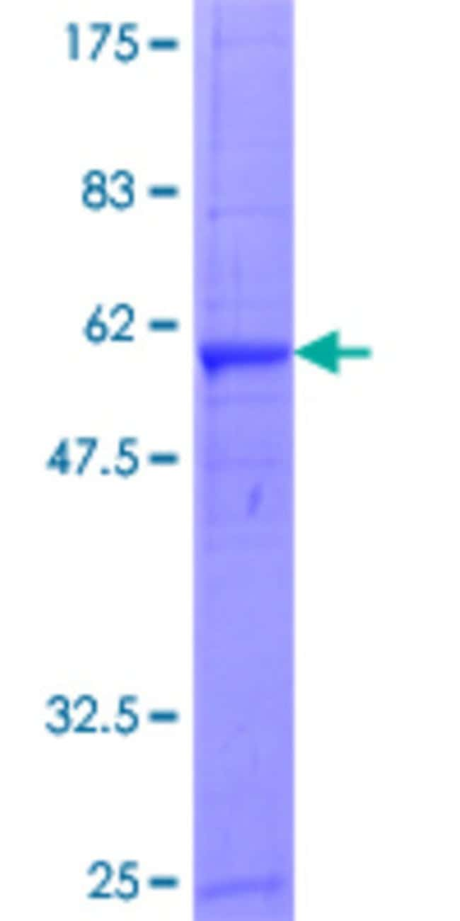 Abnova Human GZMA Full-length ORF (NP_006135.1, 1 a.a. - 262 a.a.) Recombinant