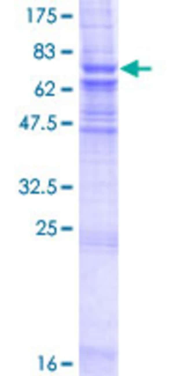 AbnovaHuman ZMPSTE24 Full-length ORF (AAH37283.1, 1 a.a. - 475 a.a.) Recombinant