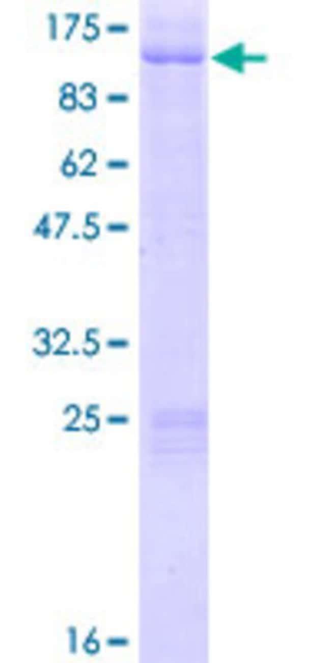 AbnovaHuman AKAP8 Full-length ORF (AAH37270.1, 1 a.a. - 692 a.a.) Recombinant