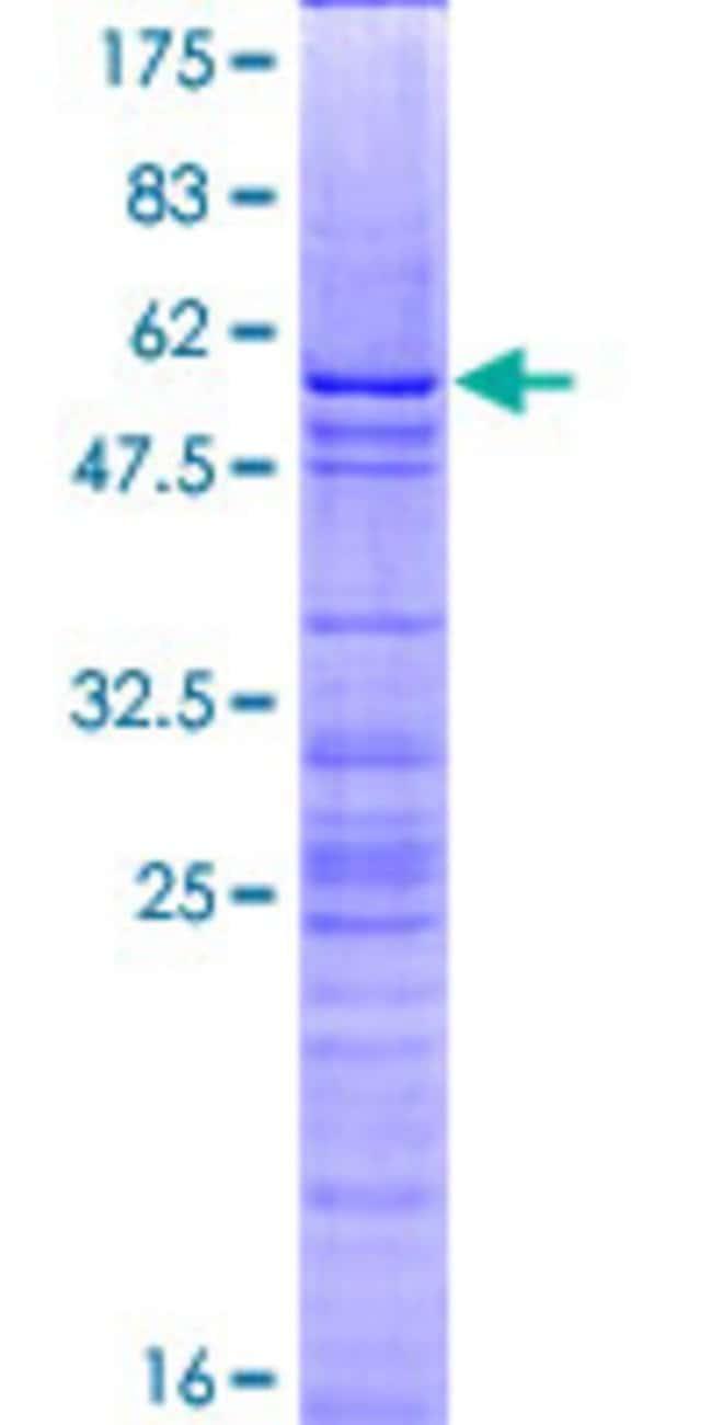 Abnova Human H1F0 Full-length ORF (NP_005309.1, 1 a.a. - 194 a.a.) Recombinant