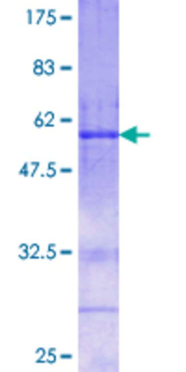 AbnovaHuman FSTL3 Full-length ORF (NP_005851.1, 27 a.a. - 263 a.a.) Recombinant