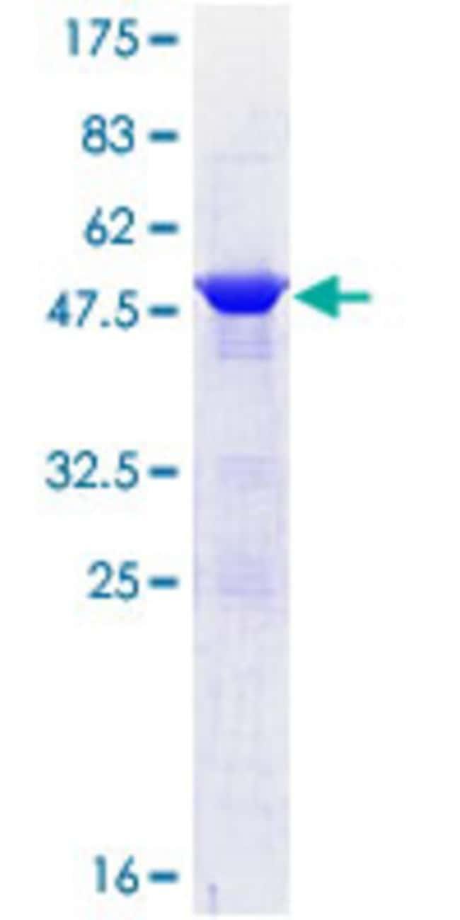 AbnovaHuman COX4NB Full-length ORF (NP_006058.1, 1 a.a. - 210 a.a.) Recombinant
