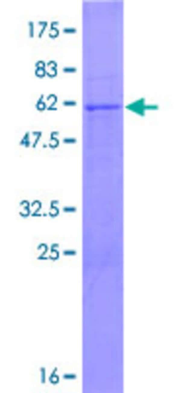 AbnovaHuman PCGF3 Full-length ORF (NP_006306.2, 1 a.a. - 242 a.a.) Recombinant