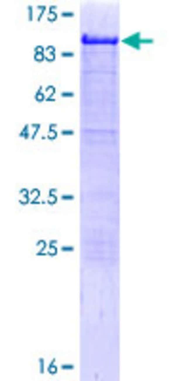Abnova Human HCLS1 Full-length ORF (NP_005326.1, 1 a.a. - 486 a.a.) Recombinant
