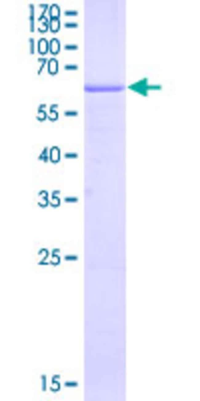 Abnova Human HLA-G Full-length ORF (ABW03643.1, 1 a.a. - 338 a.a.) Recombinant