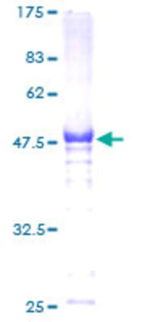 Abnova Human HSF2 Full-length ORF (AAH05329, 1 a.a. - 230 a.a.) Recombinant