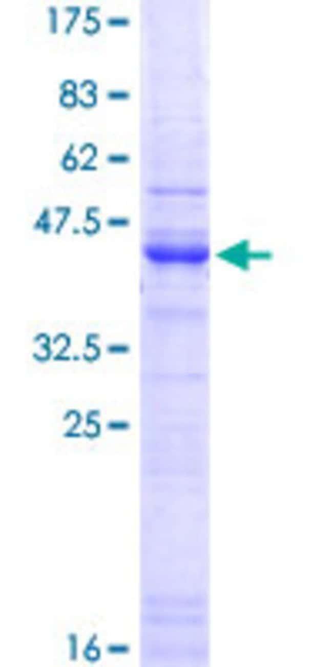 Abnova Human HSPG2 Partial ORF (NP_005520.3, 25 a.a. - 134 a.a.) Recombinant