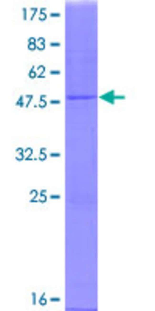 Abnova Human IFNA21 Full-length ORF (AAH69329.1, 1 a.a. - 189 a.a.) Recombinant